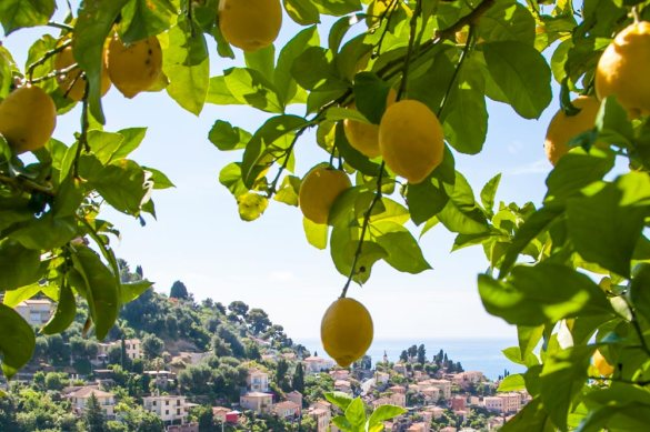 menton-citron-igp